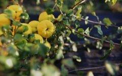 Удивительно вкусный плод айва — Польза и вред для здоровья в 2019 году