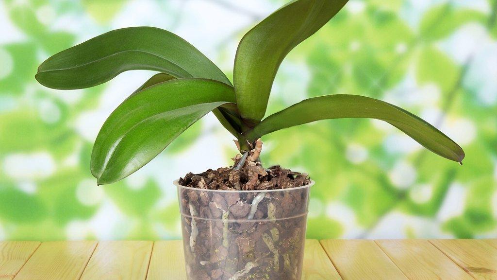 orxideya-falenopsis-uxod-v-domashnix-usloviyax_ (3)