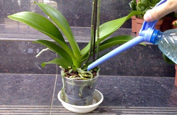 orxideya-falenopsis-uxod-v-domashnix-usloviyax_ (8)