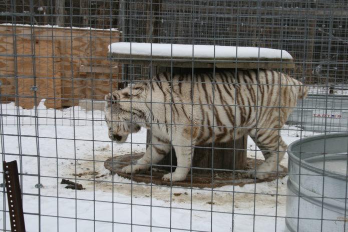 Один из тигров Тайсона в приюте