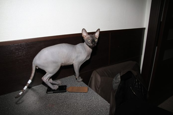 Чуча — кот Бари Алибасова