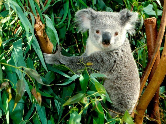 Медвежонок коала