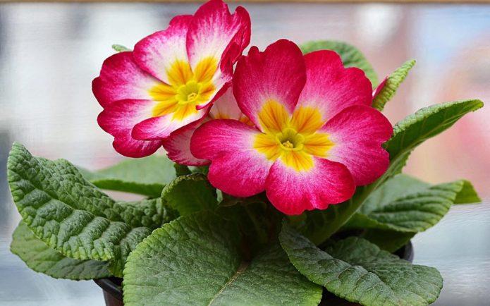Комнатные цветы примулы