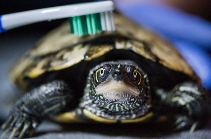 Черепаху чистят зубной щёткой