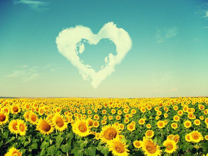 облако-сердце в голубом небе, много подсолнухов
