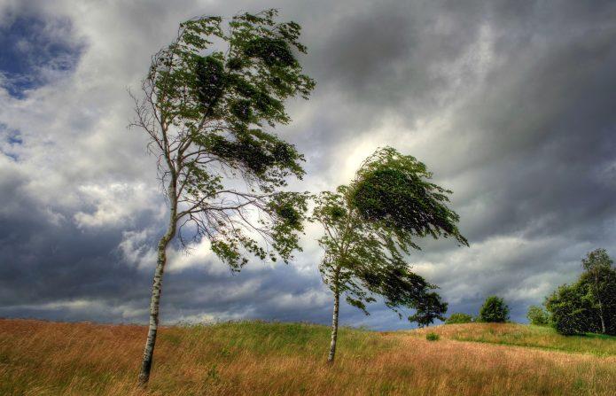 Берёзы под ветром