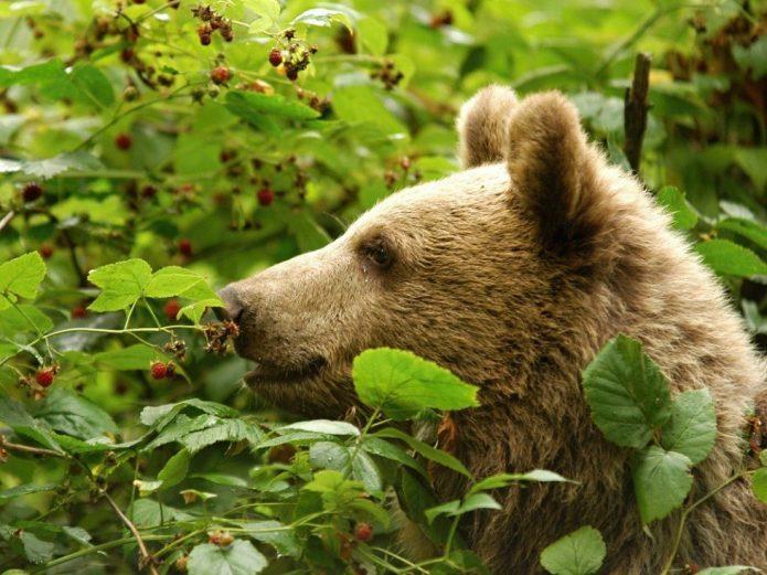Медведь в малиннике
