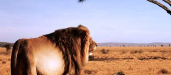 Толстый лев в саванне