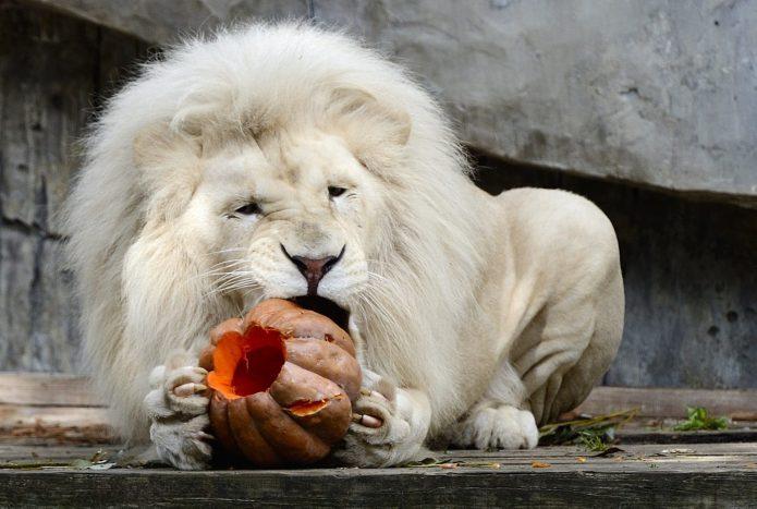 Лев ест тыкву