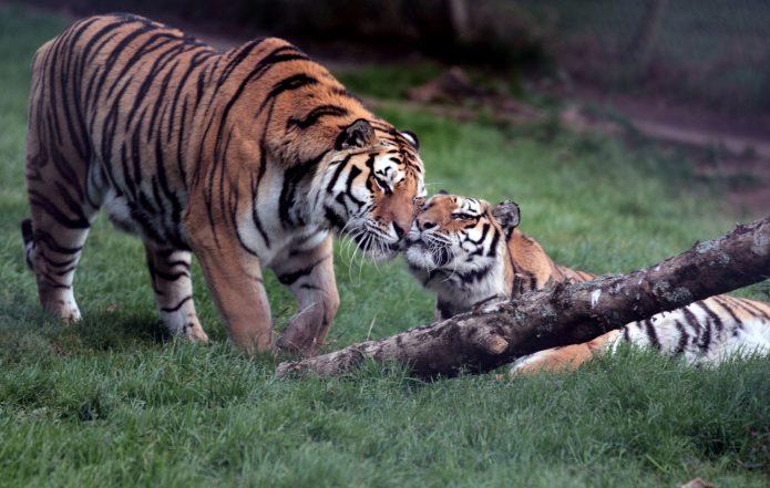 Тигр и тигрица ласкаются друг к другу