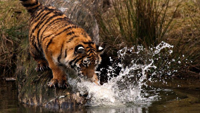Тигр играет с водой