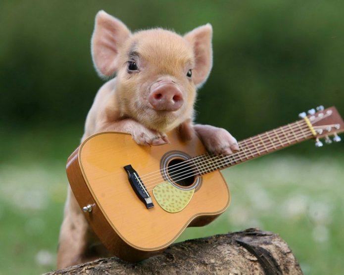 Мини-пиг с гитарой