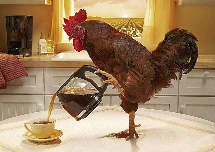 Петух наливает в чашку кофе