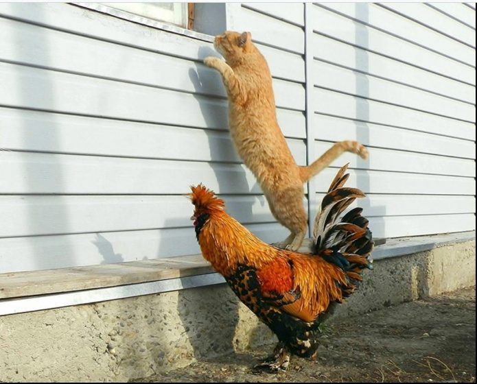 Кот стоит на спине у петуха