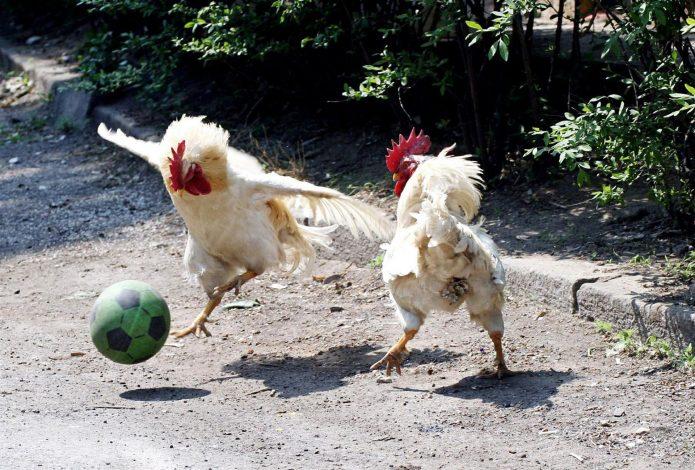 Петухи играют в футбол