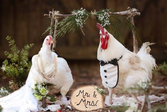 Свадьба петуха и курицы