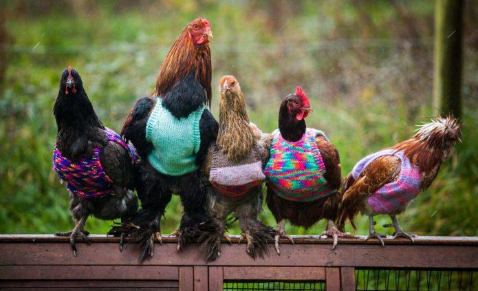 Петух и куры в свитерах
