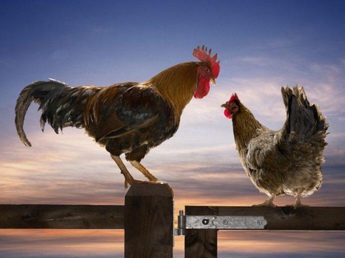 Петух и курица на заборе