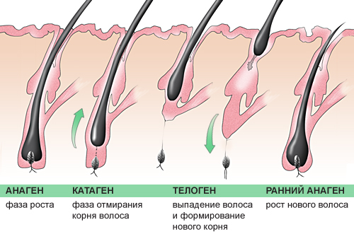 Схема роста волоса