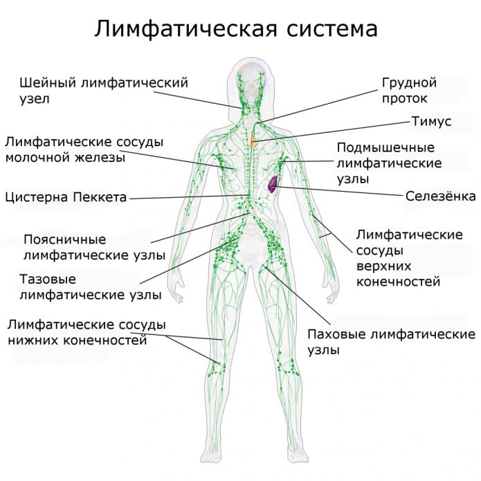 лимфатическая система человека (схема)