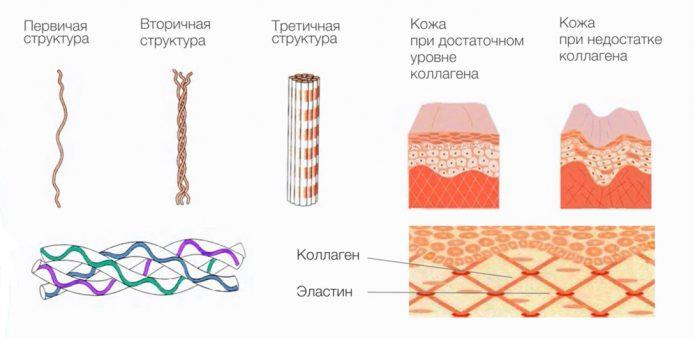 Зависимость внешнего вида кожи от содержания коллагена