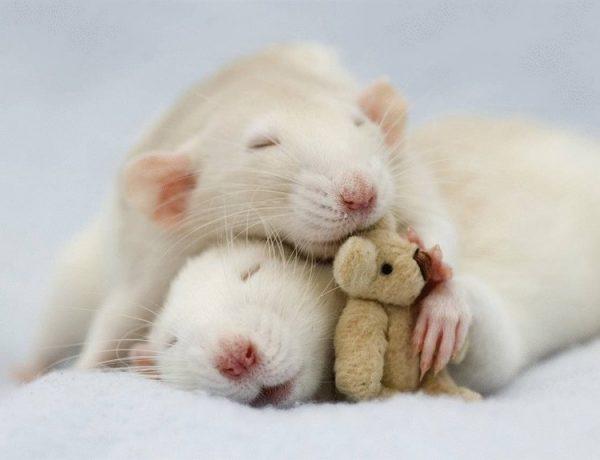 Две белые крысы спят, обнявшись