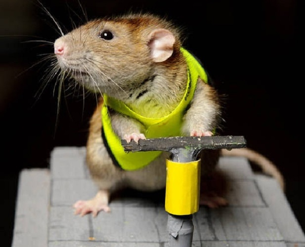 Крыса с отбойным молотком