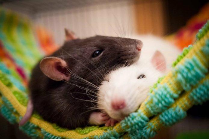 Две крысы спят в гамаке