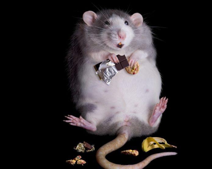 Толстая крыса с шоколадом
