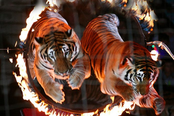 Тигры прыгают через горящее кольцо