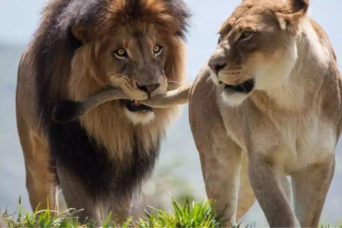 Лев держит львицу за хвост