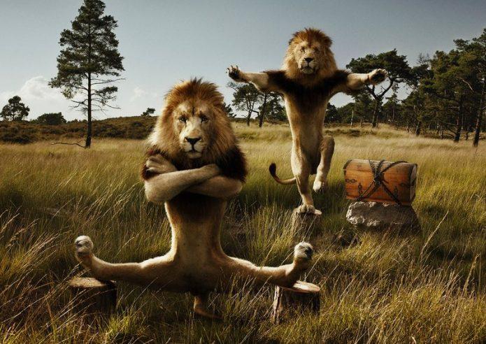Львы занимаются оздоровительными техниками