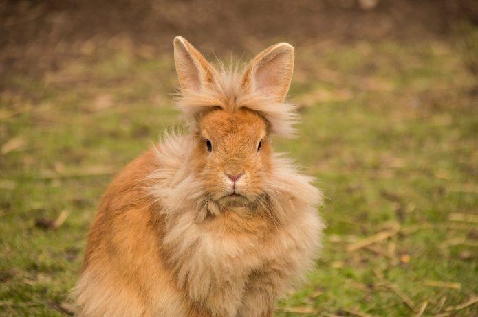 Мохнатый кролик