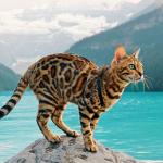 Сьюки кот