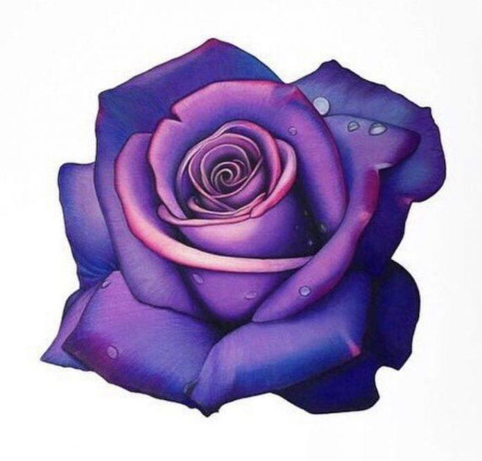 Эскиз роза фиолетовая