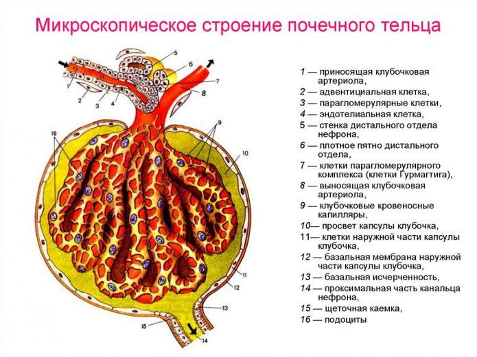 Строение почечного клубочка